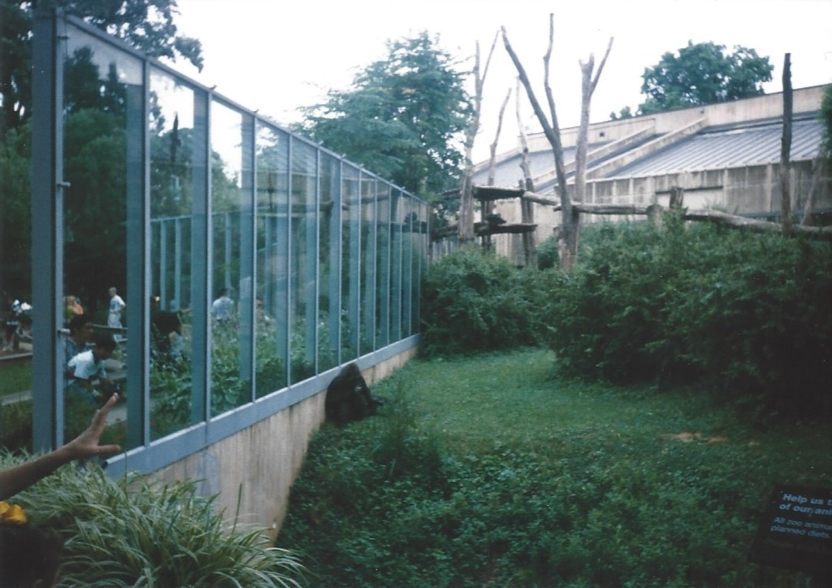 The Great Ape outdoor enclosure.