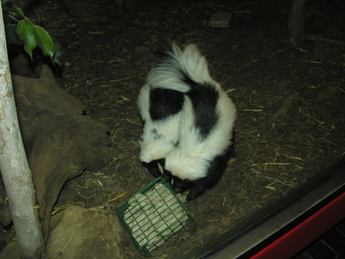 A pair of skunks at the small mammal exhibit, March 2019.