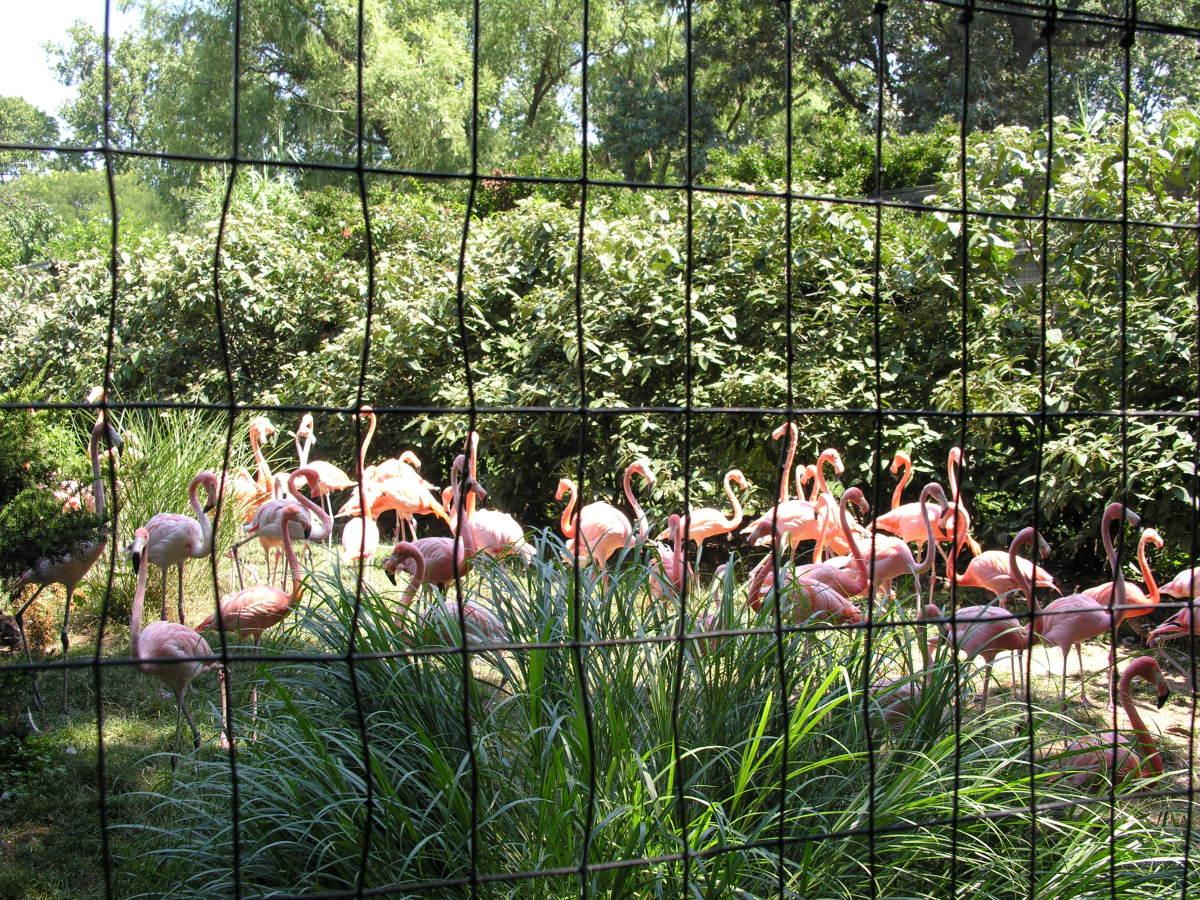 Flamingos at an outdoor exhibit, July 2008