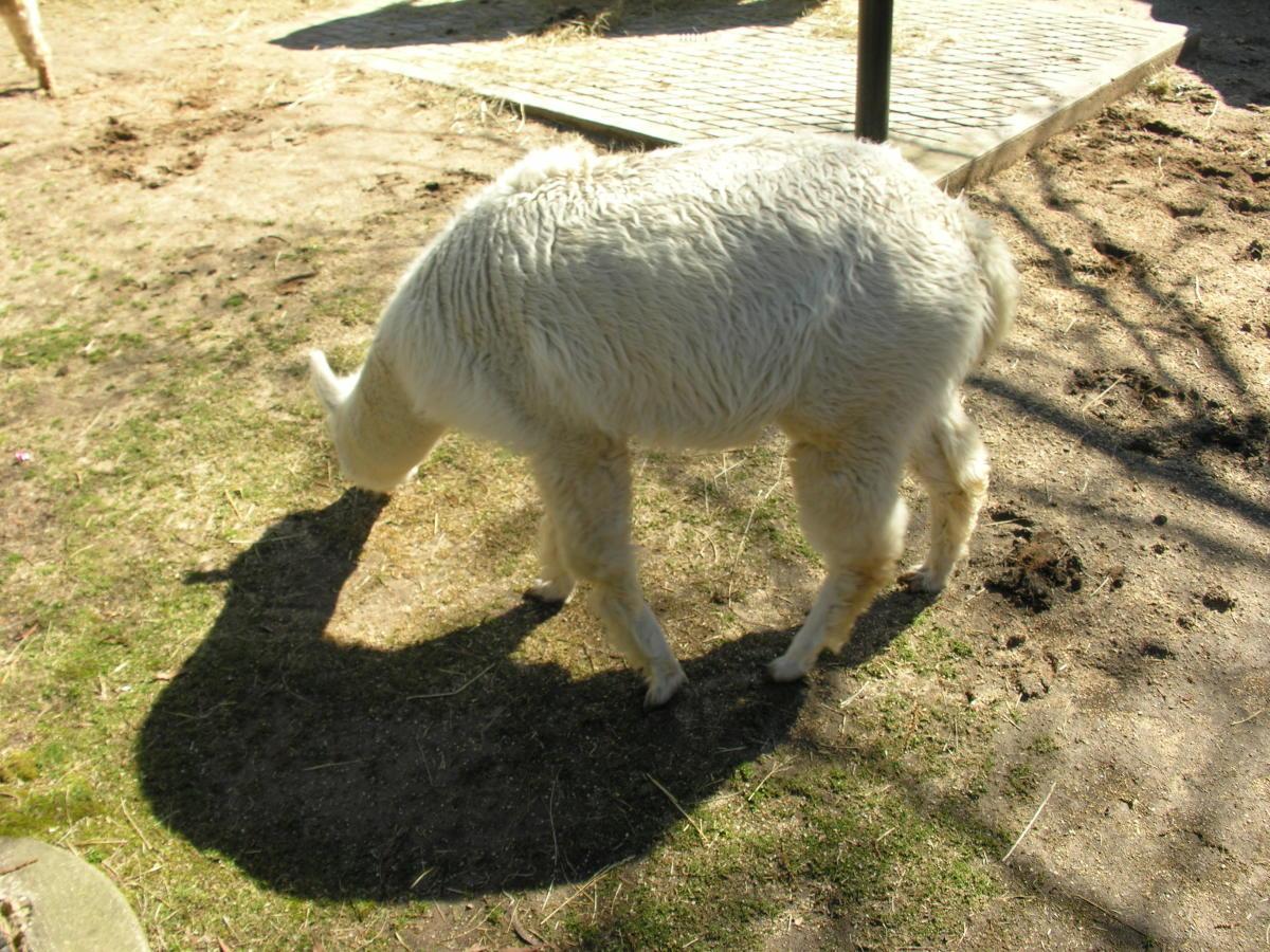 An alpaca ath the Kid's Farm, March 2019.