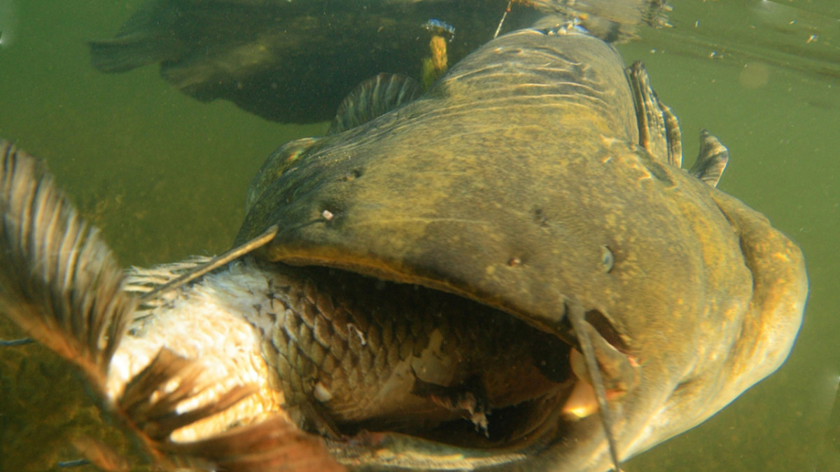 This is another of the wels catfish in Chernobyl, eating a fish.