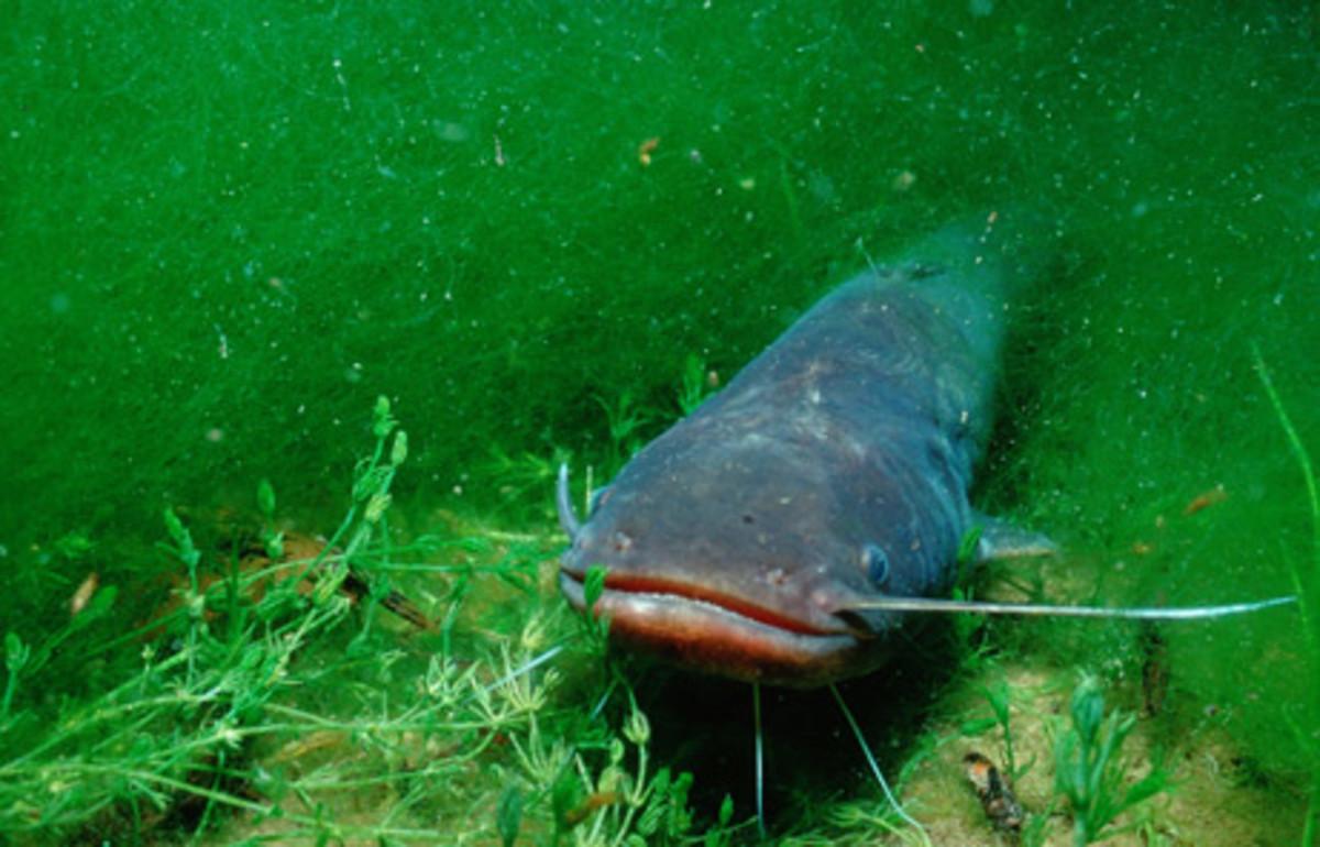 Catfish at the bottom of a lake/river
