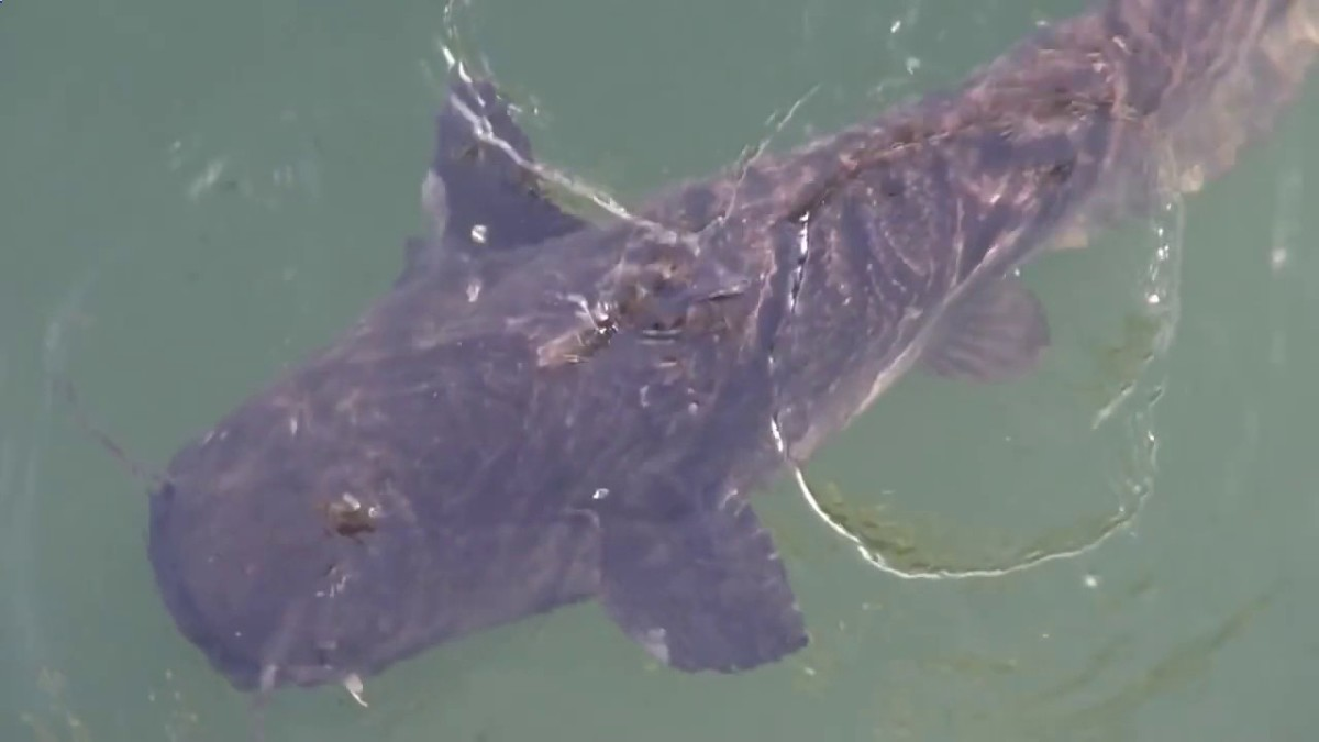 One of the catfish living in Chernobyl