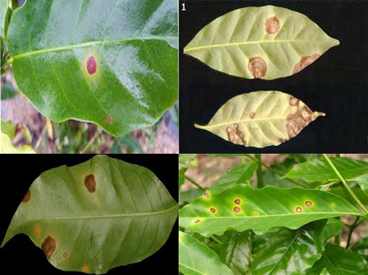 Brown-eye spot on leaves