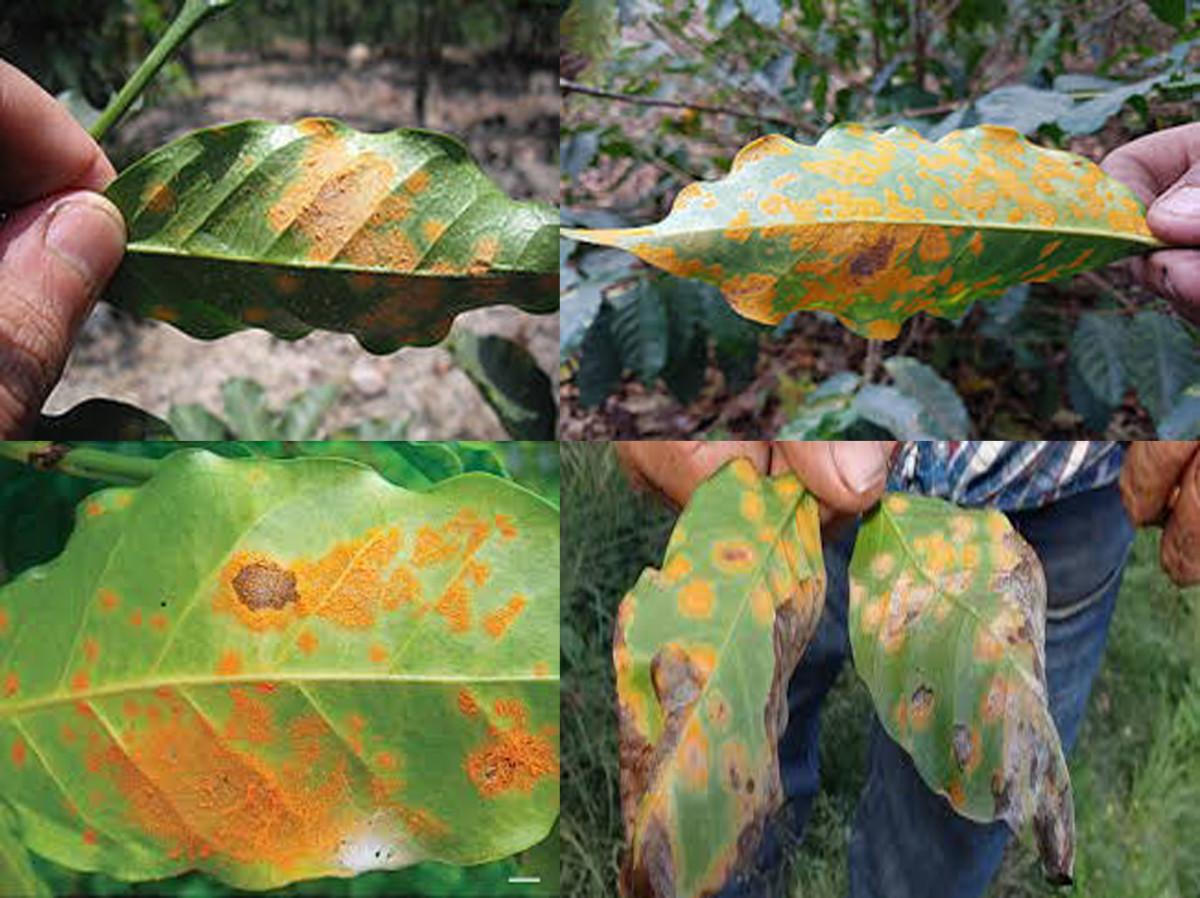 Yellow-orange rust on coffee leaves