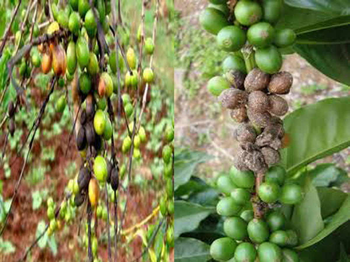 Rotted berries of coffee