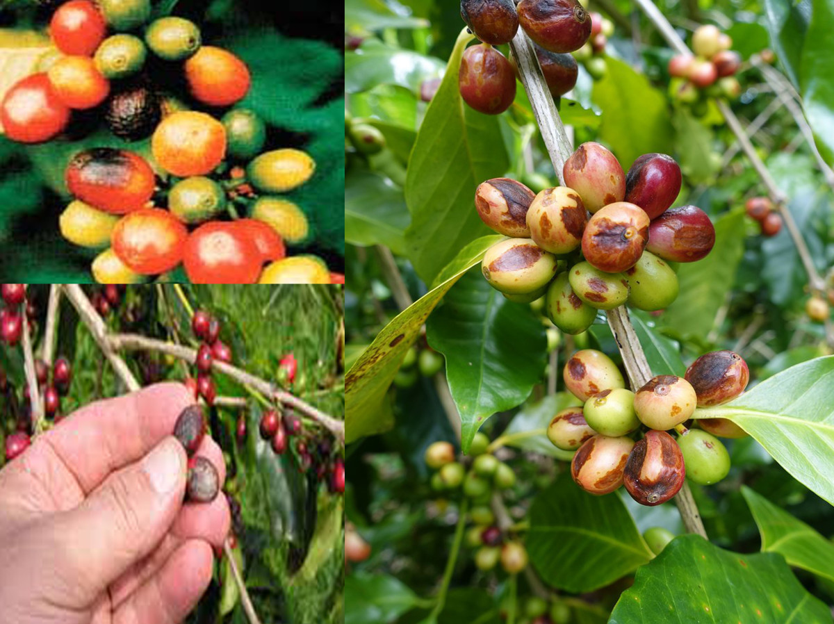 Lesions on coffee