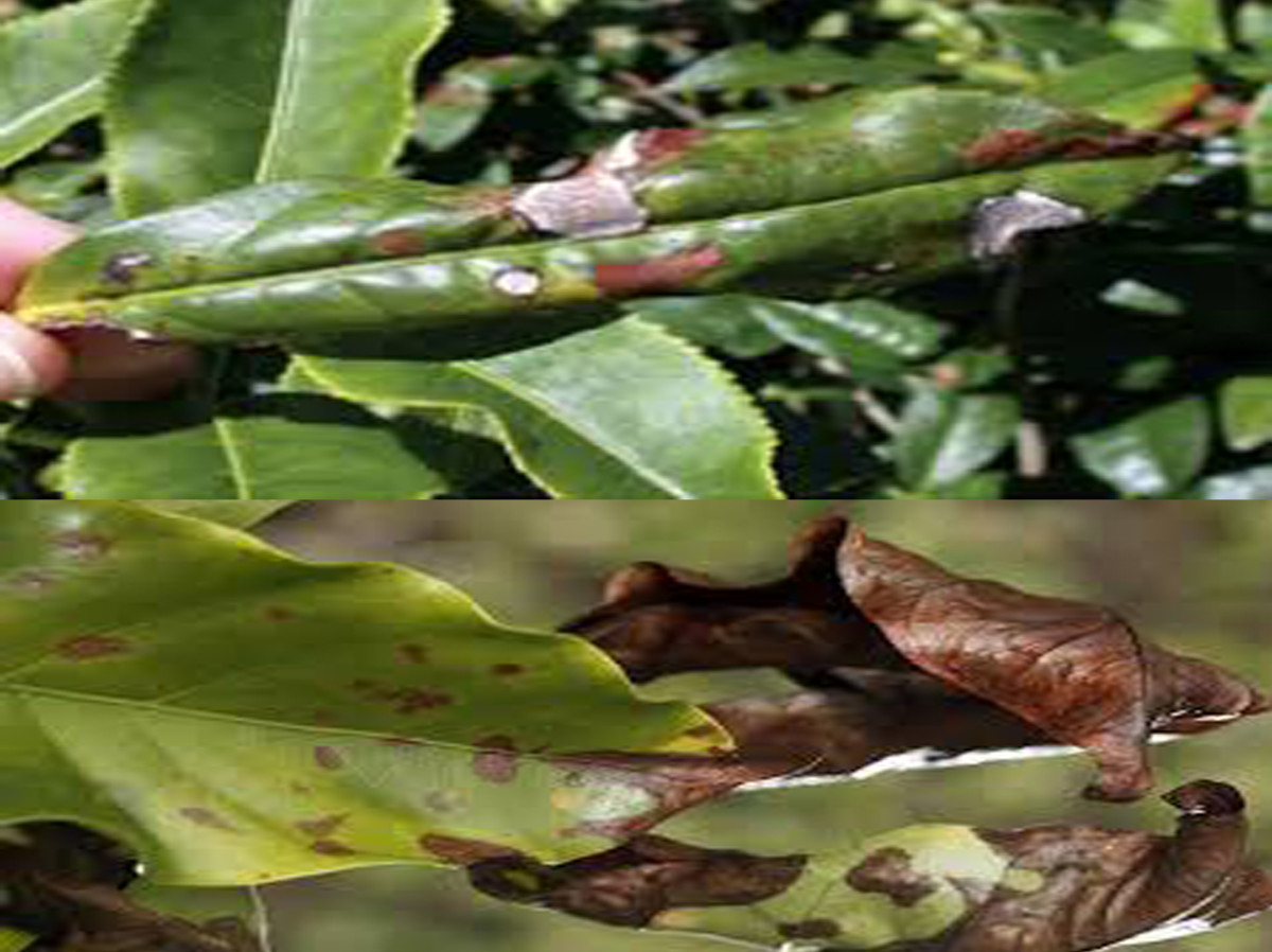 Blight on coffee leaves