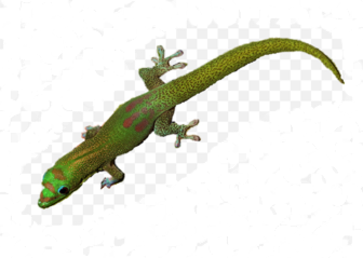 A Typical Green Gecko Lizard