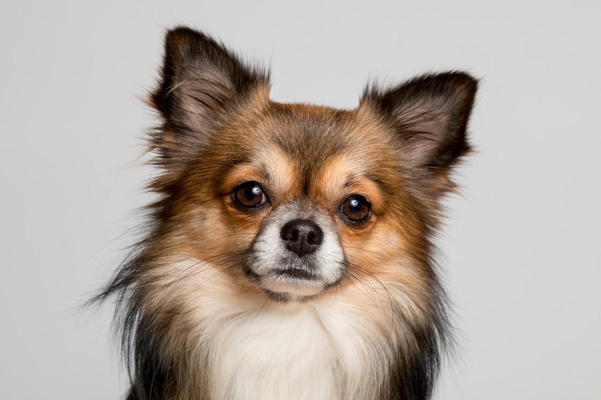 Rottweiler Chihuahua Mix - The Rottuahua