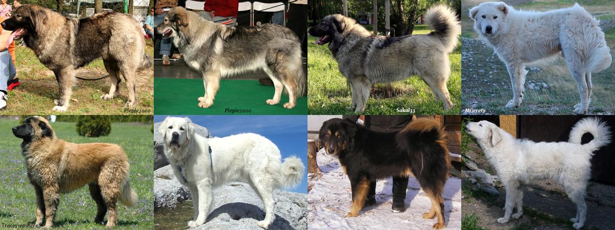 Various livestock guardian breeds