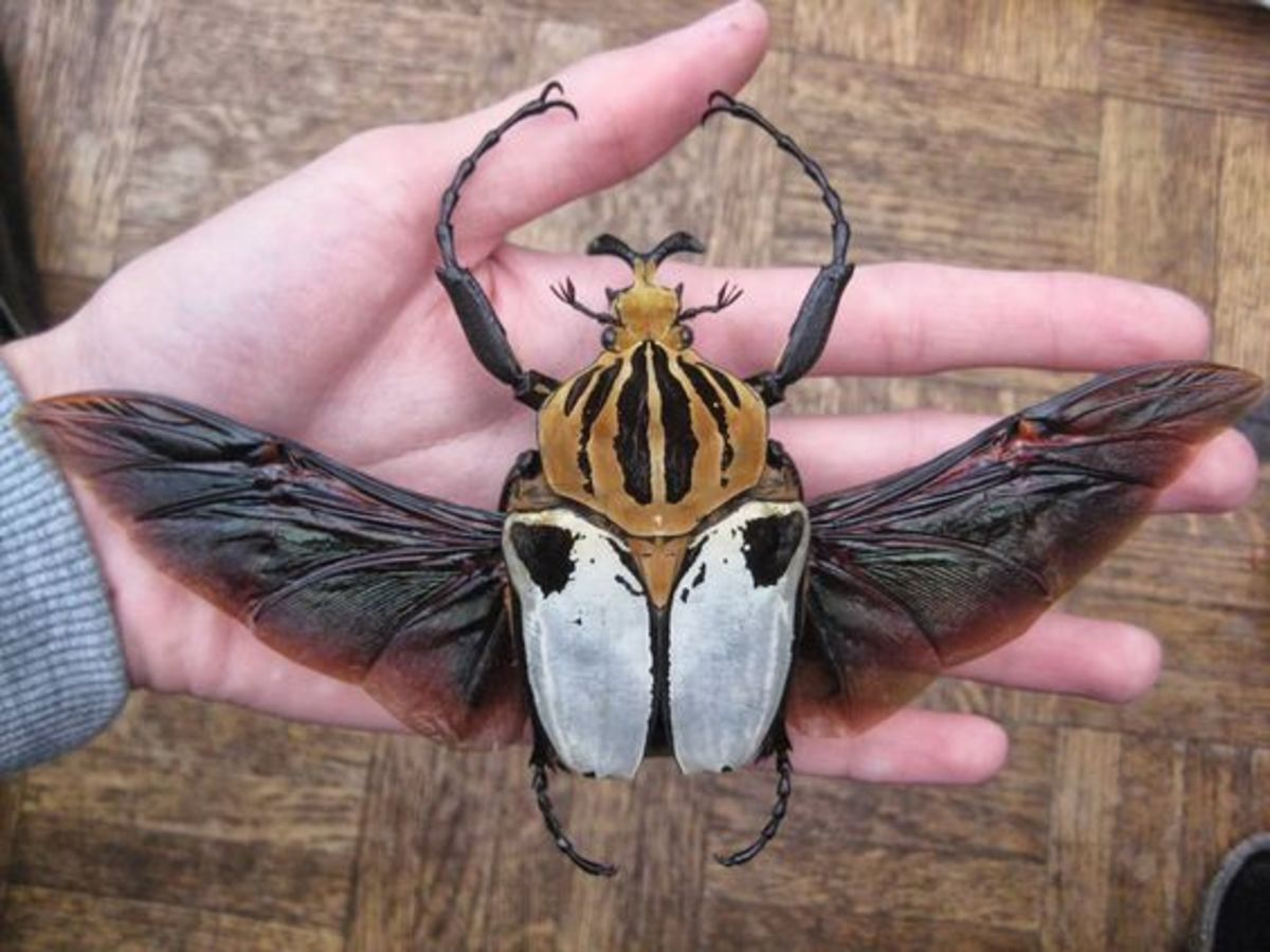 Goliath Beetles can be found throughout many of Africa's tropical forest.