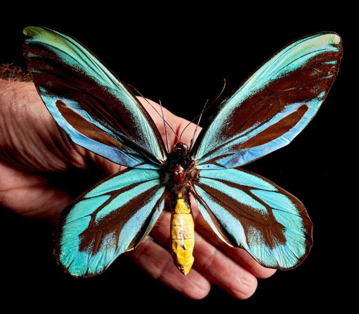 Queen Alexandra's Birdwing is a species of endangered butterfly that is illegal to international trade.