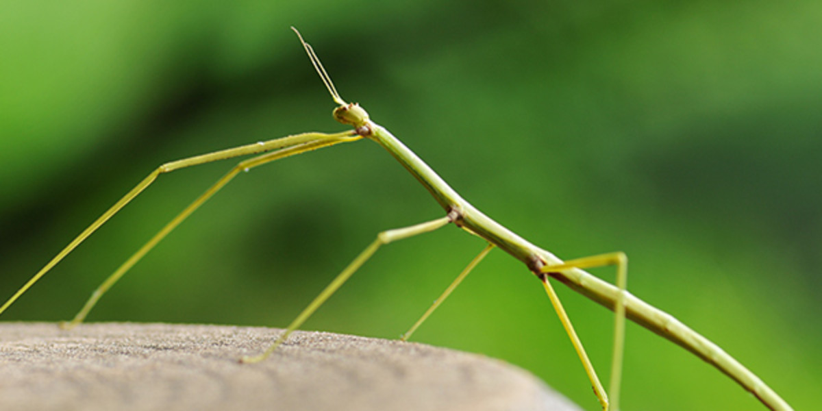 A female Stick-Bug can lay anywhere from 100 to 1,200 eggs each after mating.