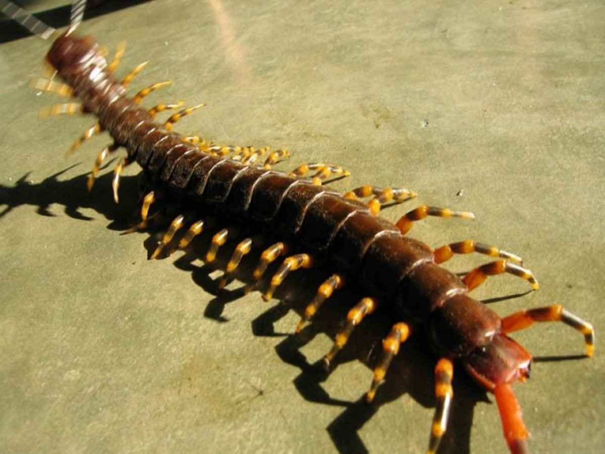 The Amazonian Giant Centipede can be found in both tropical or sub-tropical rainforest.