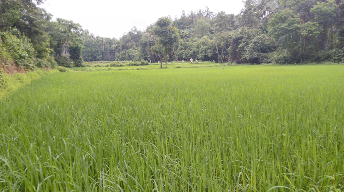 Tropical South Indian paddy field