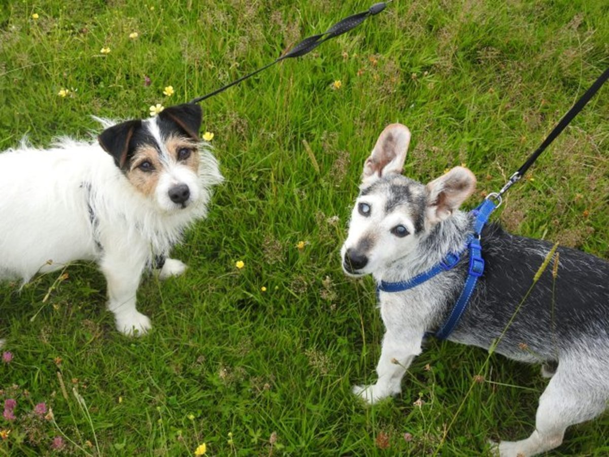 A photograph of two of my assistants- my dog Marley is on the left, and Paula's dog Eddie is on the right.