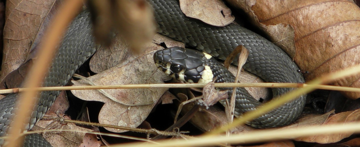 Grass snake. Some animals are camouflaged and is hard to notice.