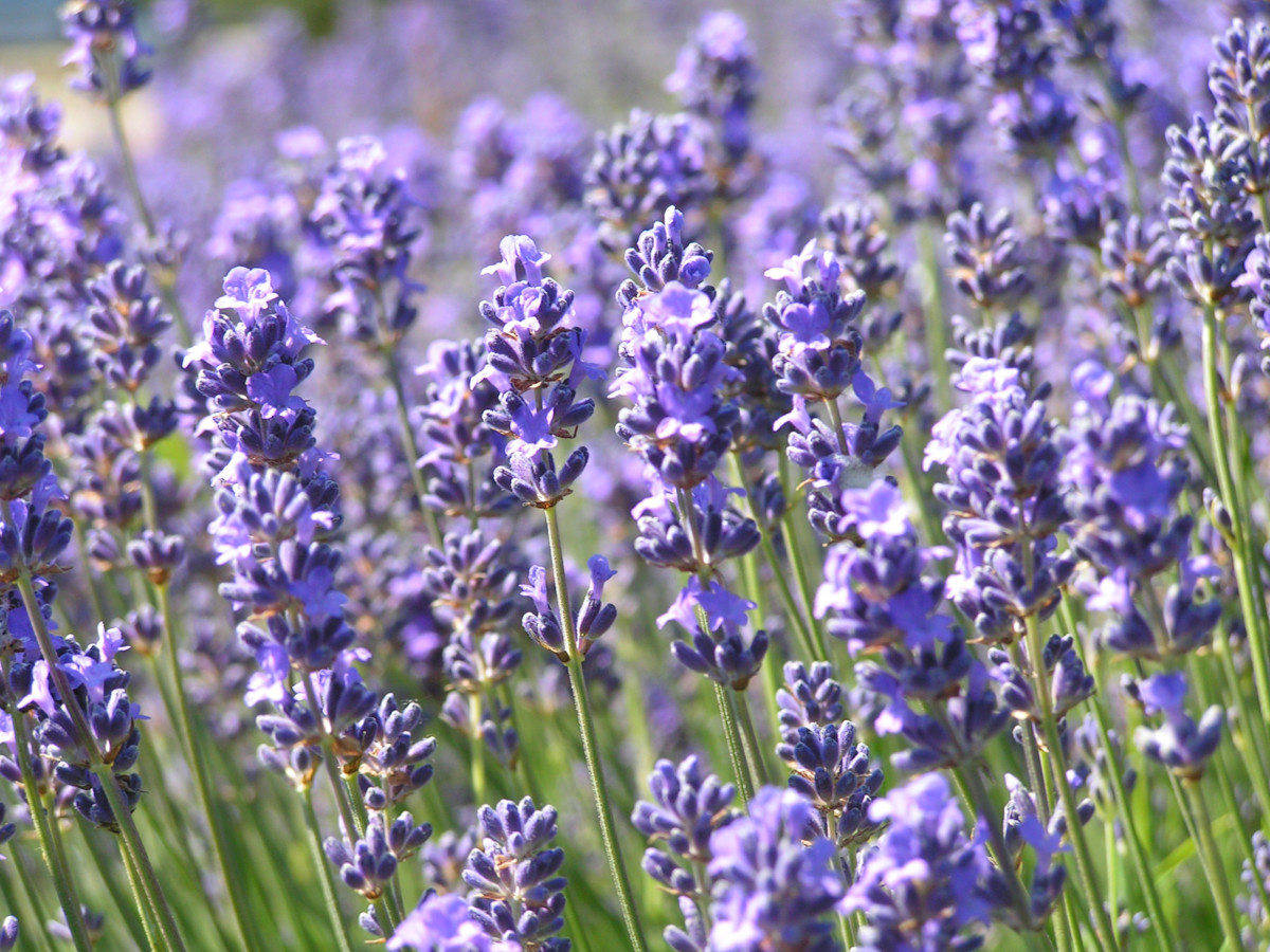 Lavender Herb of the Month for February 2020