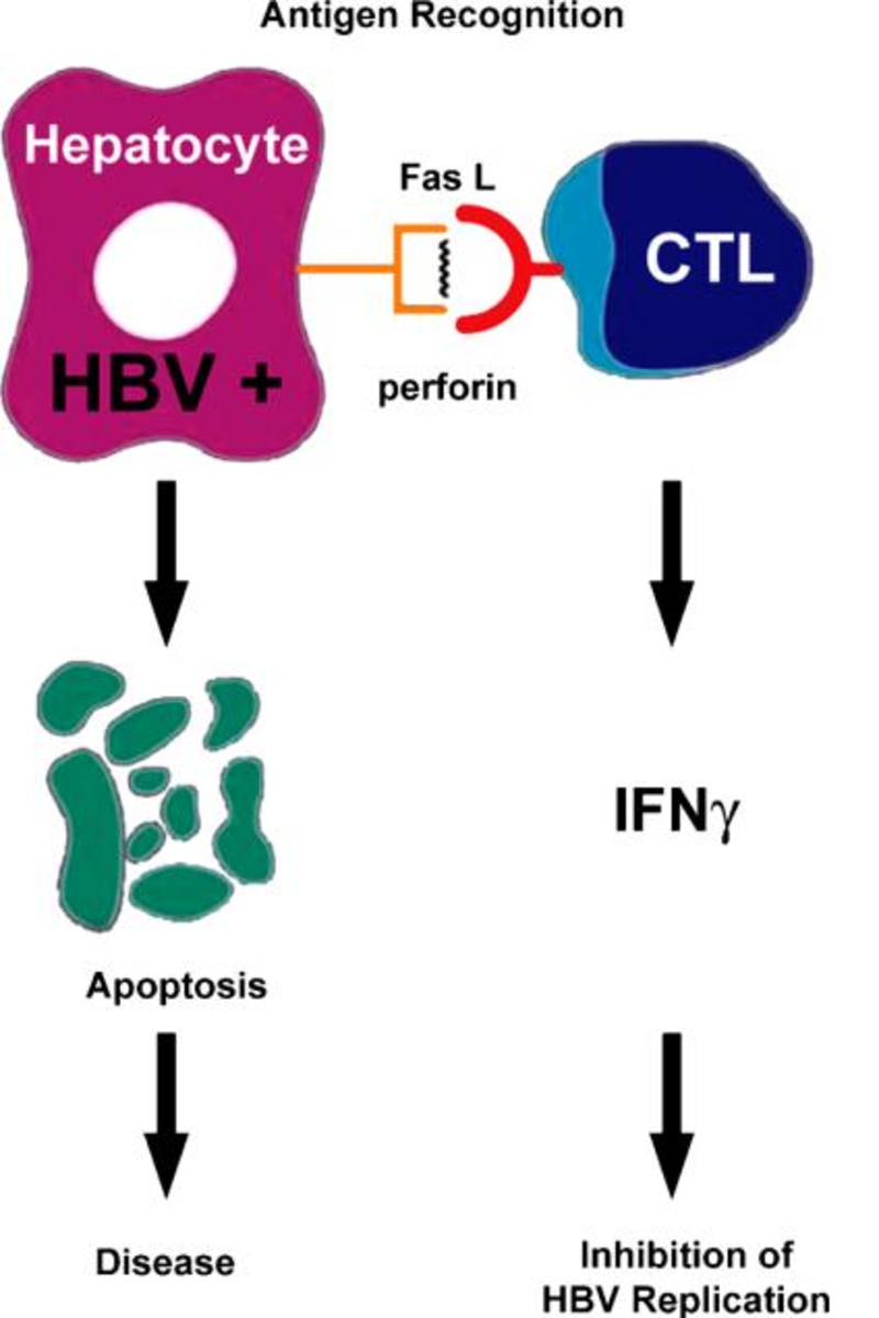 Hepatitis B Antigen Recognition