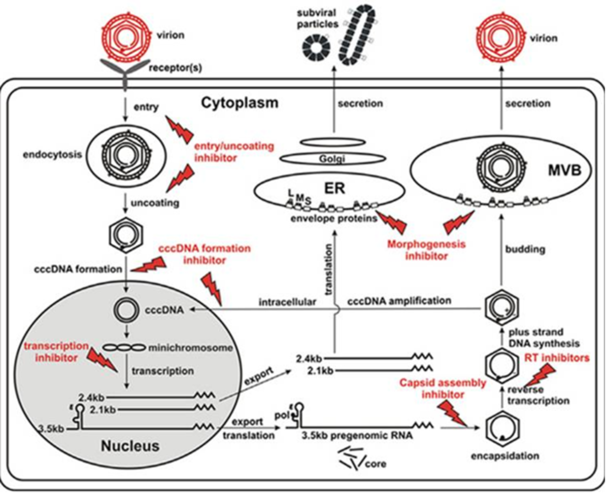 HBV Life Cycle