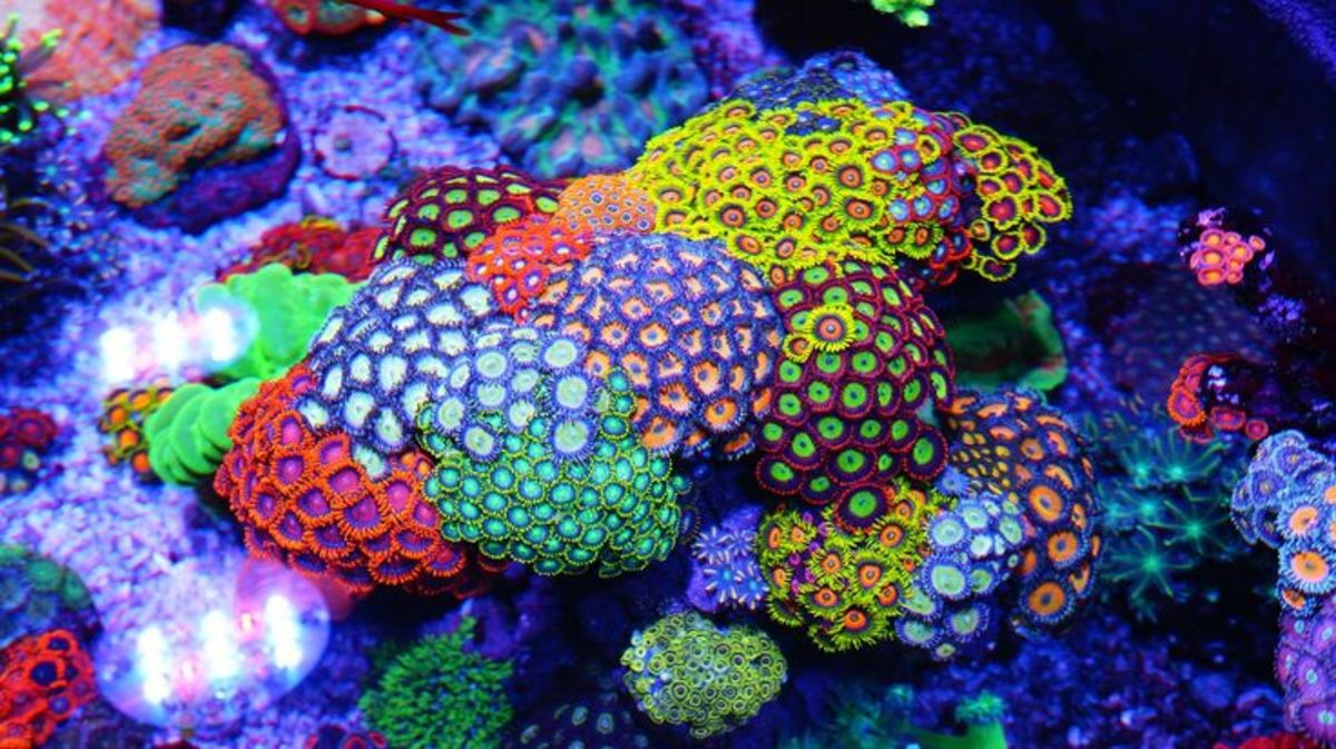 Zoanthid Soft Corals - Colorful and Easy To Keep - Saltwater Aquariums