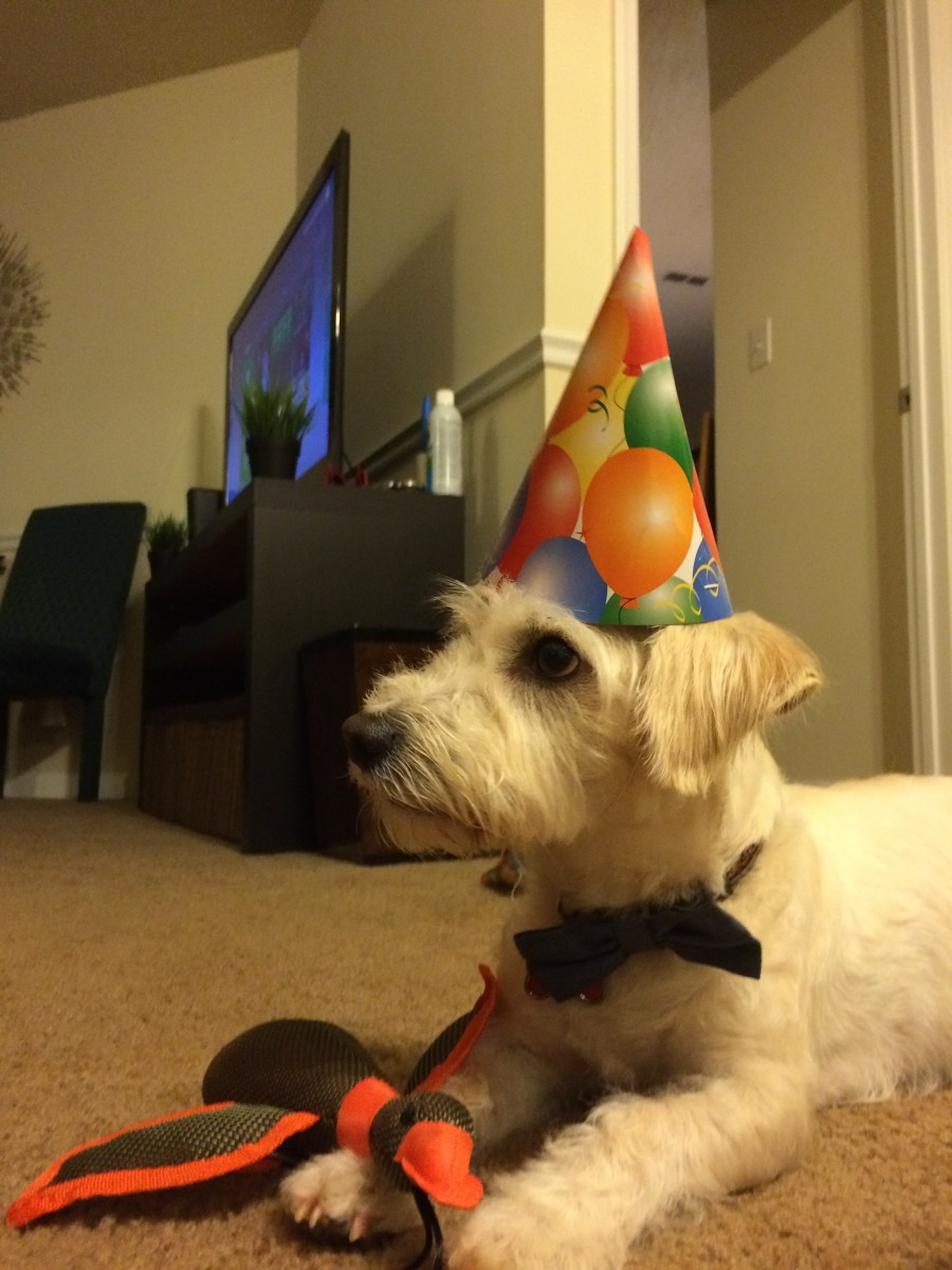 My Jack Russell Westie Mix celebrating his second birthday.