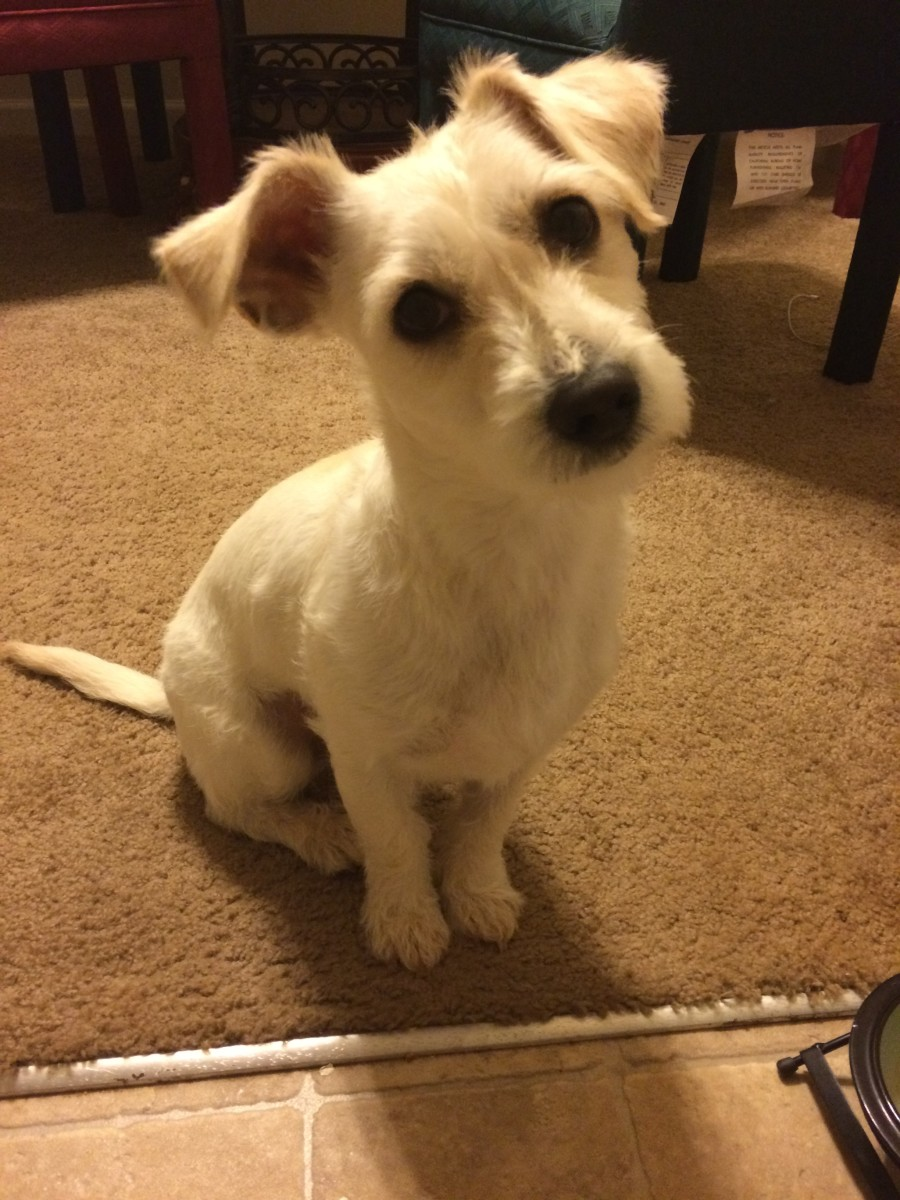 My two year old Jack Russell Westie Mix feeling handsome after his hair cut.