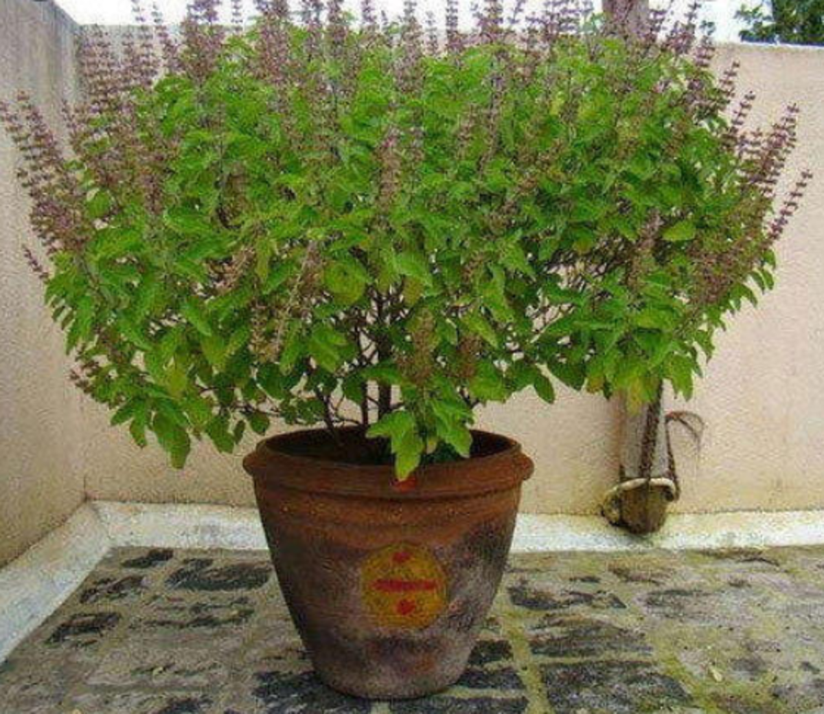 Typical Holy Basil Plant in an Indian Household