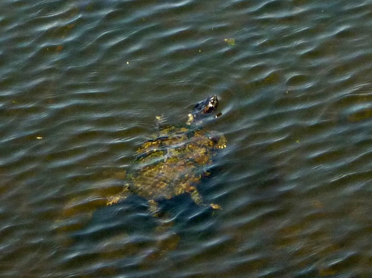 Swimming Turtle in Cullinan Park