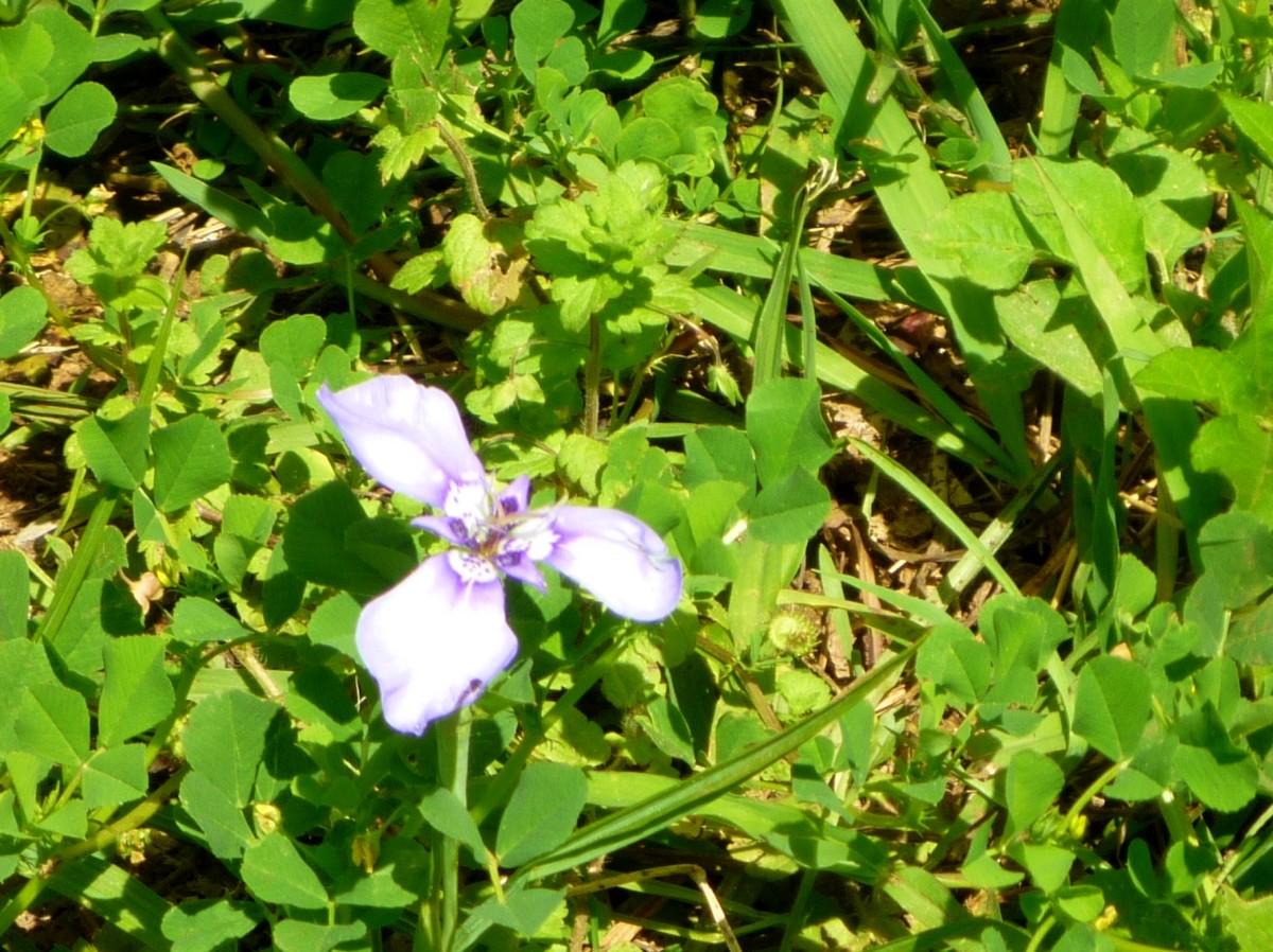 Prairie Nymph Wildflower
