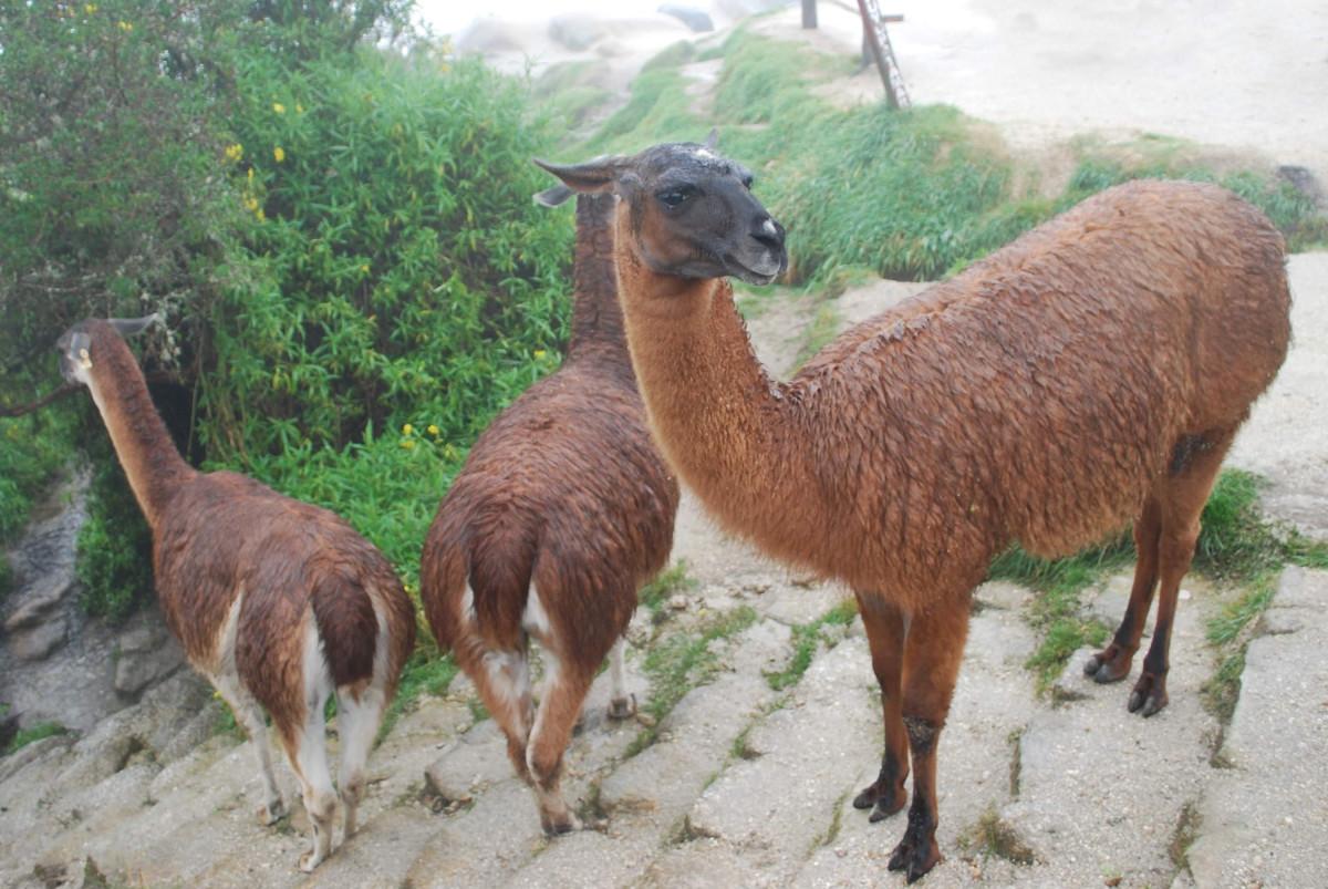 Llamas used to produce antibodies.