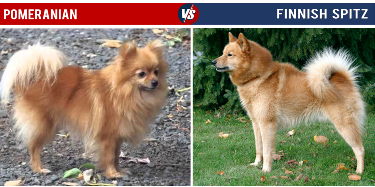 Pomeranian vs Finnish Spitz