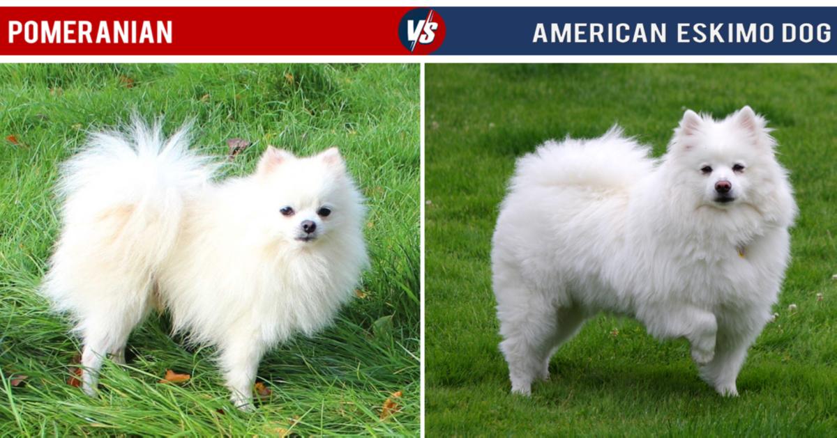 Pomeranian Vs American Eskimo Dog