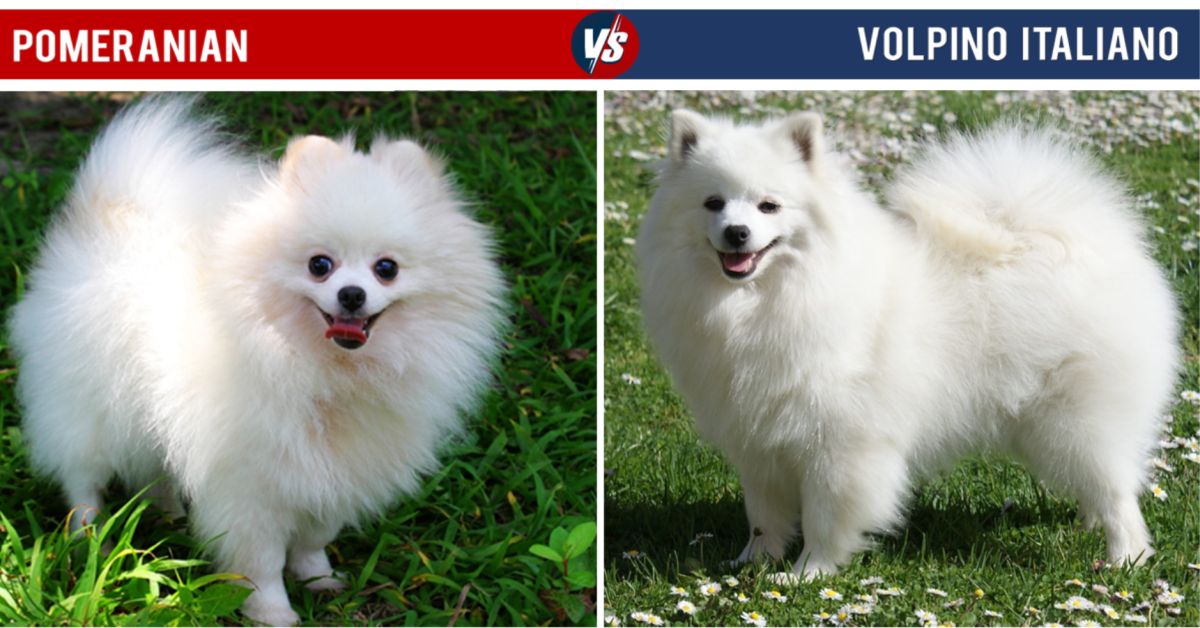 Pomeranian Vs Volpino Italiano