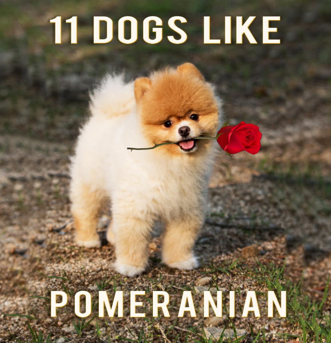 11 Dogs That Look Like Pomeranian