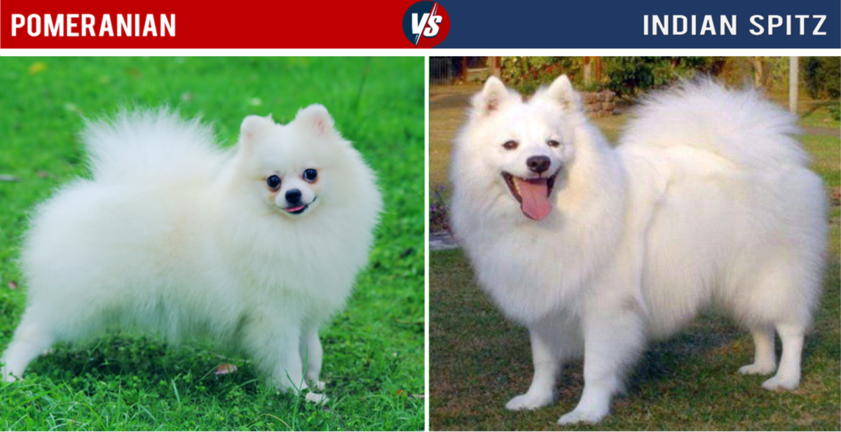 Pomeranian Vs Indian Spitz