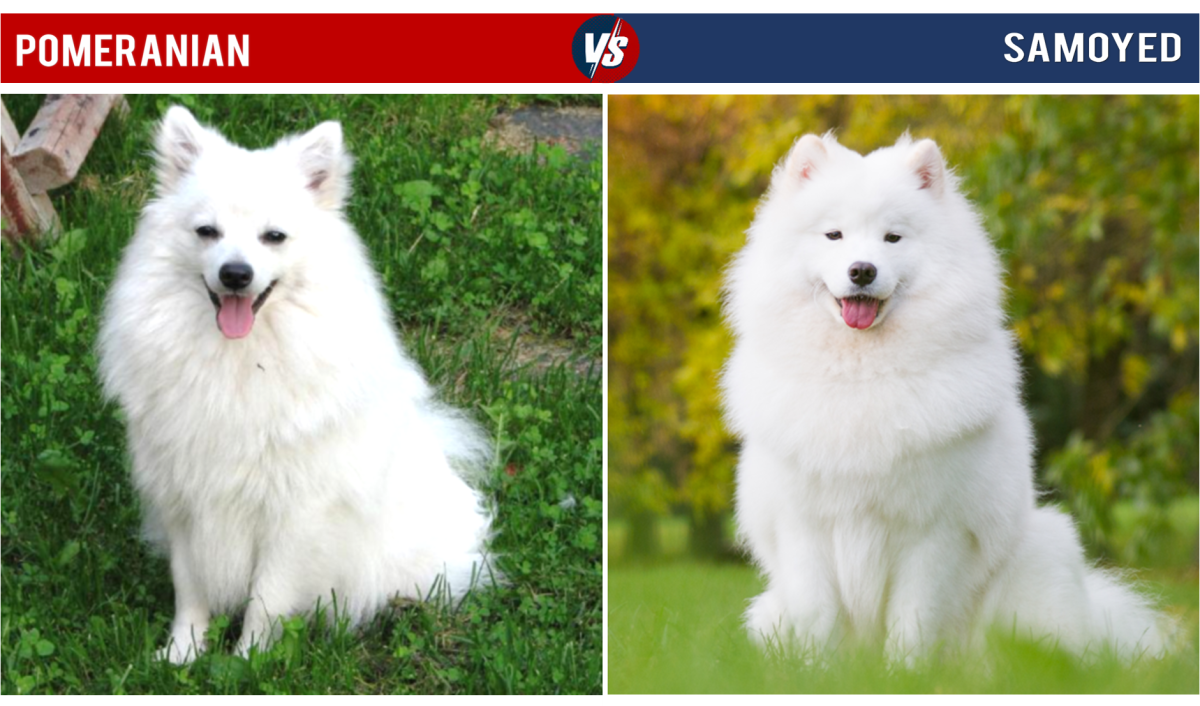 Pomeranian Vs Samoyed