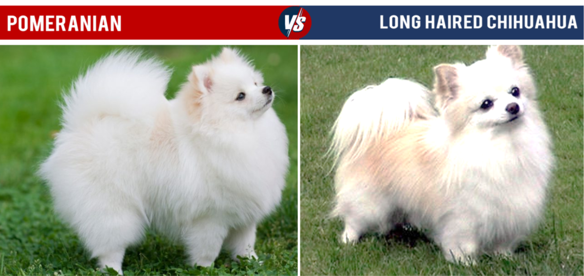 Pomeranian Vs Long Haired Chihuahua