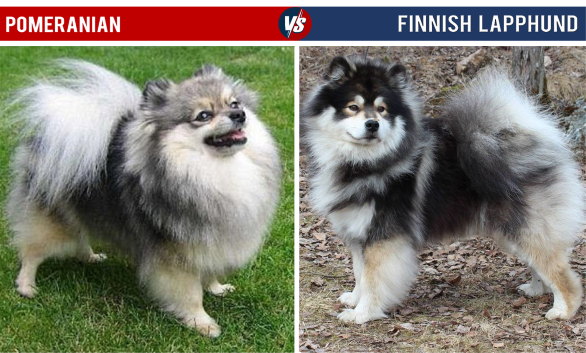 Pomeranian Vs Finnish Lapphund