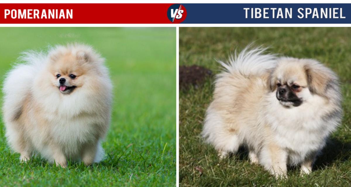 Pomeranian Vs Tibetan Spaniel