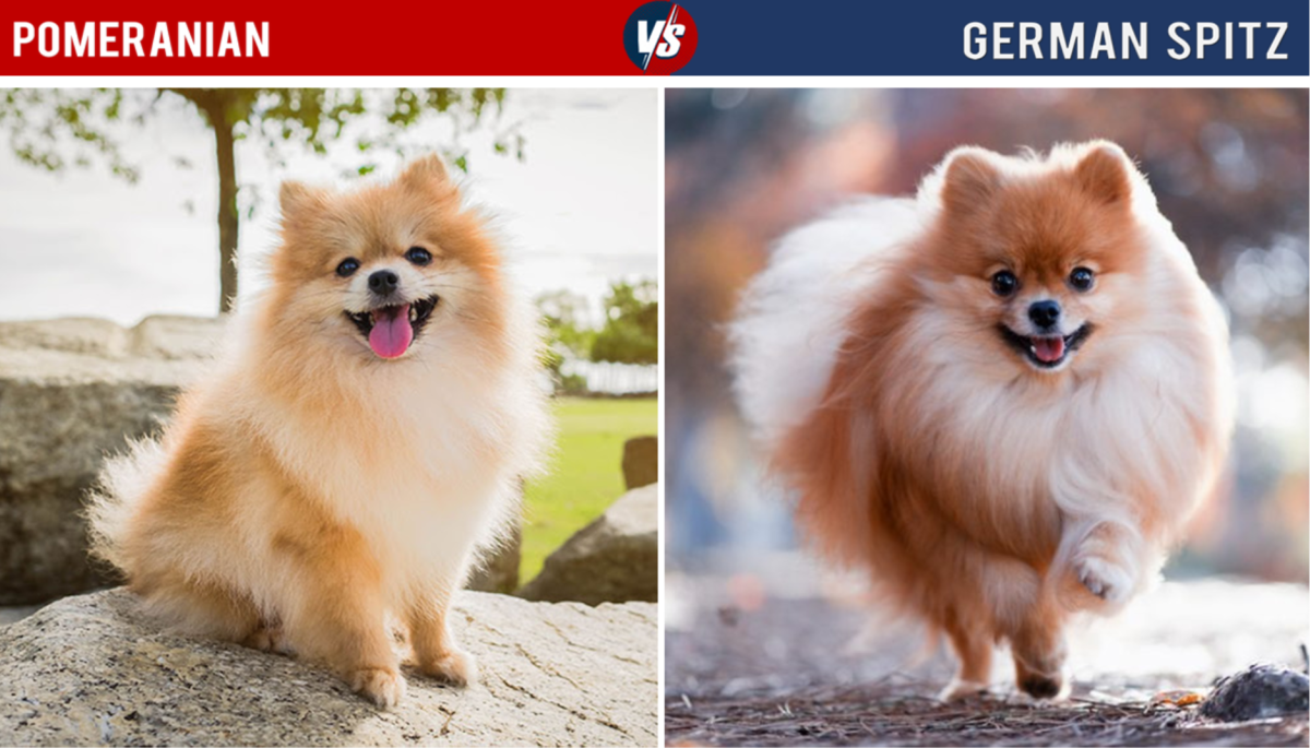 Pomeranian Vs German Spitz