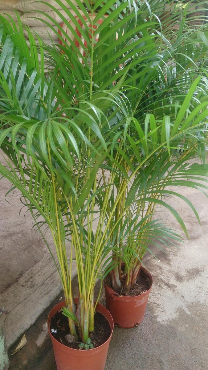 Areca Plant