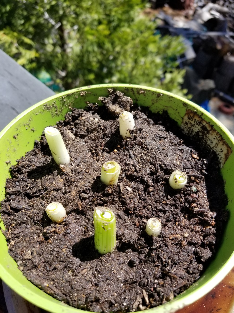 Trim the bottom part of green onions and plant them in a pot, covering the roots. You'll soon have plenty of green onions. Very easy to grow.
