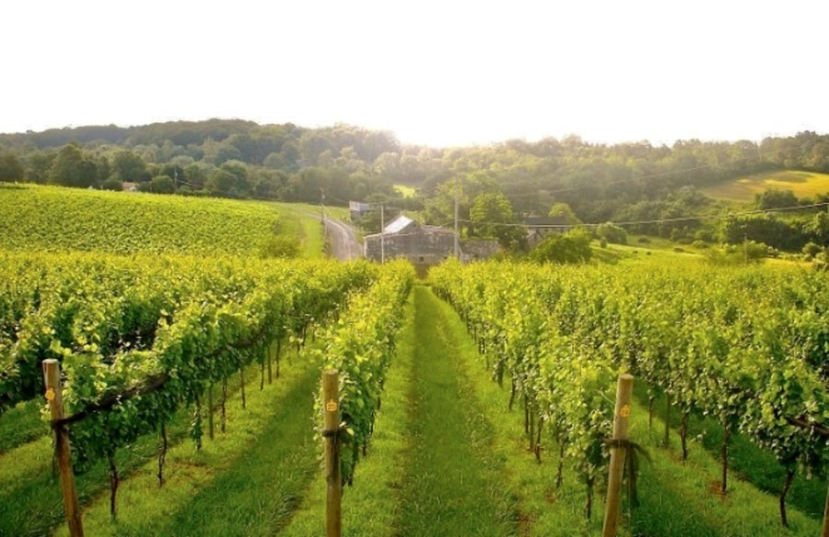 Back to the Vineyard