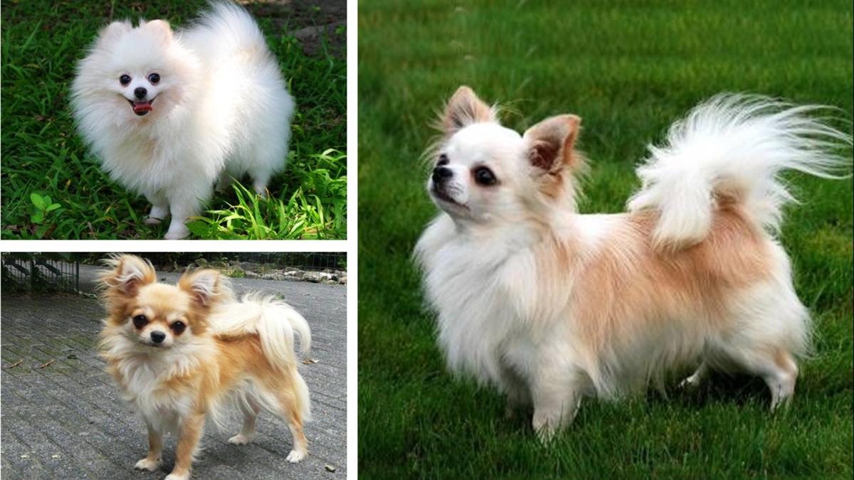 Pomchi (Pomeranian and Chihuahua Mix)