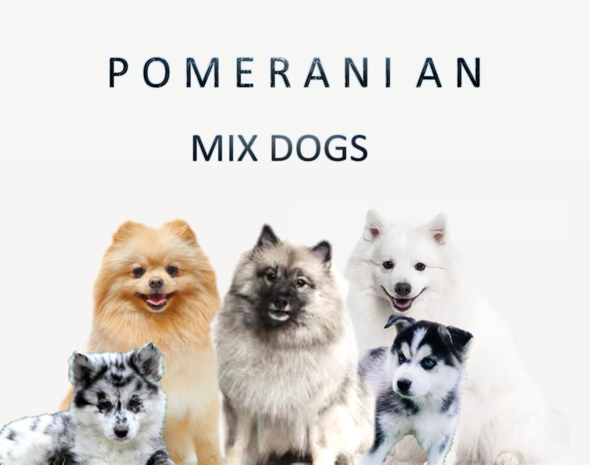 Top 15 Most Popular Pomeranian Mix Dogs