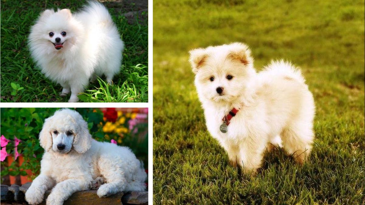 Pampoo (Pomeranian and Poodle Mix)