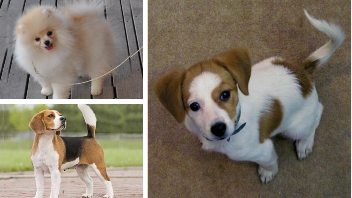 Pomeagle (Pomeranian and Beagle Mix)