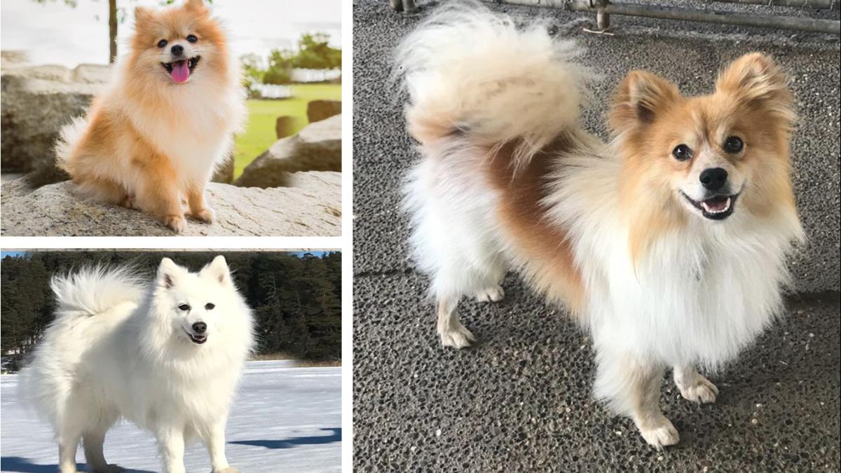 American Pom Eskimo (Pomeranian and American Eskimo Dog mix)